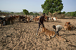 A man and boy try to revive a cow in Gidel, a village in the Nuba Mountains of Sudan. The area is controlled by the Sudan People's Liberation Movement-North, and frequently attacked by the military of Sudan. In addition to war, people of the isolated region have had to endure difficult farming conditions, exacerbated by climate change, leading in recent years to widespread hunger and malnutrition.