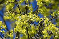 Spitz-Ahorn, Spitzahorn, Spitzblättriger Ahorn, Ahorn, Blüten, Blüte, blühend, Acer platanoides, Norway Maple, L'Érable plane, Érable de Norvège, Iseron, Plane, Main-découpée, Plaine, Faux Sycomore