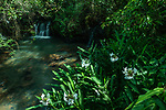 The White Ginger Lily or White Garland-lily, Hedychium coronarium, Iguazu Falls National Park, Argentina.  Known in Argentina as the Cana de Ambar.  It is widespread in Argentina but is native to Asia.  .