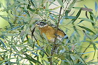 Black-headed Grosbeak (Pheucticus melanocephalus), first-winter male, feeding on acorns from Silverleaf Oak (Quercus hypoleucoides), Arizona