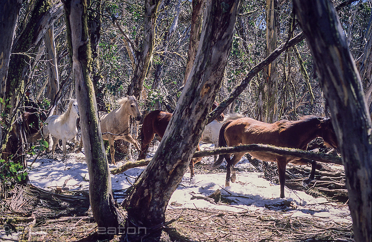 Brumbies (wild horses) running among forest trees, with snow, Snowy Mountains, Victoria.