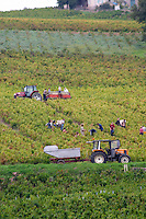 Harvest workers picking grapes. Morgon. Beaujolais, Burgundy, France
