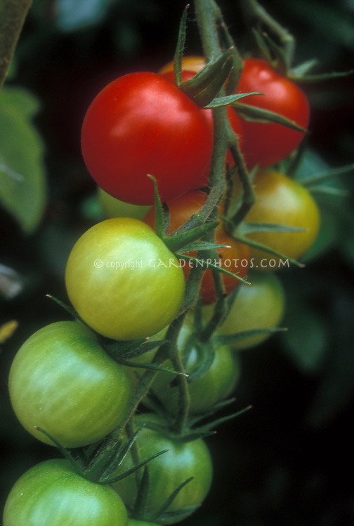 Cherry tomatoes Sweet 100 in cluster showing stages of ripening from green to yellow to red ripe