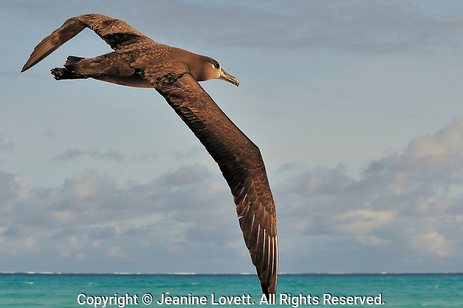 Black footed albatross Phoebastria nigripes, Midway Island. Black footed albatross in flight flying over the Midway island coast. Midway Atoll has the second largest Black-footed Albatross population in the world. This year a tsunami wave created from Japan earth 9.0 earth quake took a heavy toll on the albatross chicks.