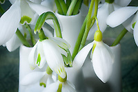 Galanthus 'Trym' snowdrops bulbs flowers iin vase picked, mixture of varieties
