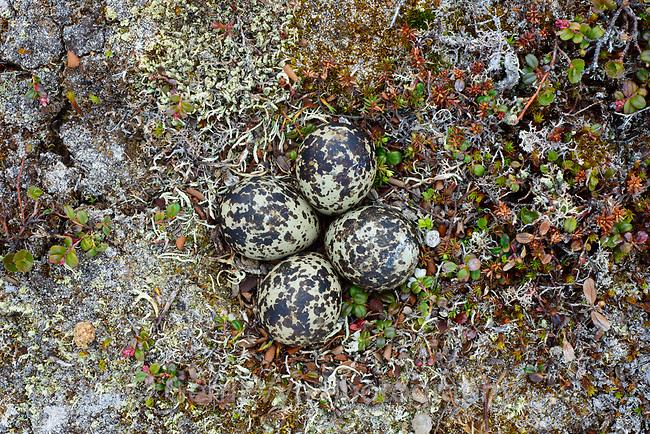Black-bellied Plover (Pluvialis squatarola) inest and eggs. Yukon Delta National Wildlife Refuge, Alaska. June.