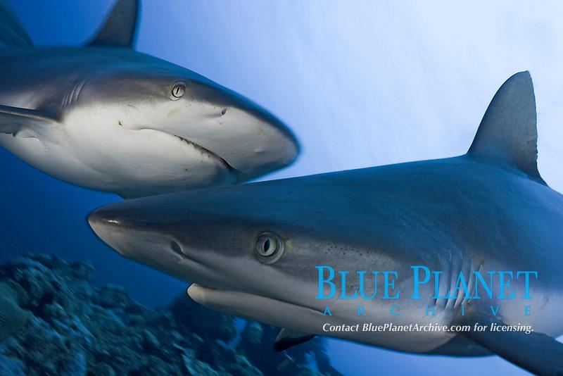 Grey reef sharks, Carcharhinus amblyrhynchos, Yap, Micronesia.