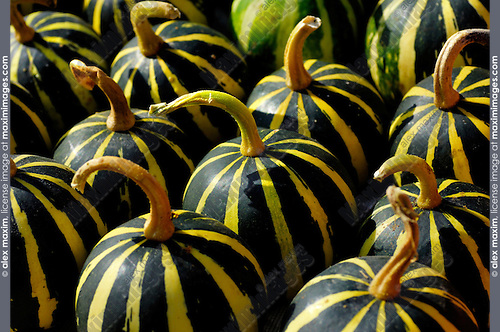 Green-yellow small stripy gourds close-up background
