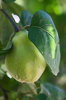 Europe/France/Provence-Alpes-Côte d'Azur/13/Bouches-du-Rhône/Env d'Arles/Le Sambuc:Coings sur l'arbre, Potager bio  du Restaurant Bio: La Chassagnette