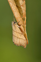 Scalloped Hook-tip - Falcaria lacertinaria. Length 20mm. A distinctive moth that, at rest, holds its wings in a tent-like manner and looks like a dead leaf. Adult has wings with scalloped edges and dark veins; wings are reddish grey in male, yellow-brown in female. Double-brooded: flies May-June and again in August. Larva feeds on birch leaves. STATUS Widespread and fairly common throughout much of Britain.