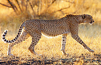 Cheetah, Grumeti, Tanzania, East Africa RESERVED USE - NOT FOR DOWNLOAD -  FOR USE CONTACT TIM GRAHAM
