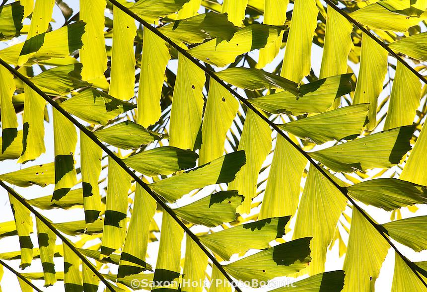 Backlit leaf of Thai Mountain Giant Fishtail Palm, Caryota obtusa (aka. C. gigas)