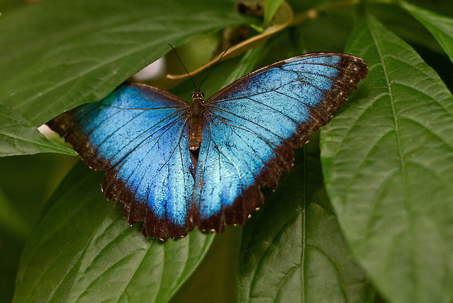 A Blue Morpho rests upon green leaves with one upper wing tucked under one of the leaves. The beautiful blue color and markings of this butterfly are clear as is the head and antennae.