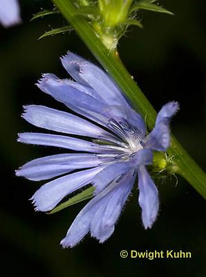 FB11-500z  Chicory flower, Chichorium intybus