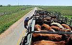 URUGUAY cattle transport of cows to the slaughterhouse of MAFRIG Group in Tacuarembo / URUGUAY Rindertransport zum Schlachthof der MARFRIG Gruppe, ein brasilienanisches Unternehmen, in Tacuarembo