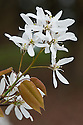 Blossom of Amelanchier x grandiflora 'Princess Diana', early April. Also known as apple serviceberry.