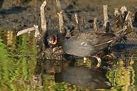 559500004 common gallinules gallinula galeata or common moorhens gallinula chloropus wild texas.Adult Feeding Chick.Anahuac National Wildlife Refuge, Texas
