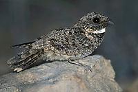 Common Poorwill - Phalaenoptilus nuttallii