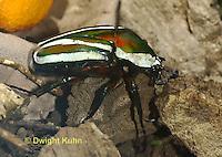 1C37-506z  Flower Beetle, Dicronorhina derbyana, Africa