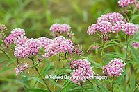 63899-05406 Swamp Milkweed (Asclepias incarnata), Marion Co., IL