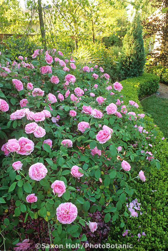 English Rose shrub 'Gertrude Jekyll' trained and  pegged in garden border. Design Credit: Freeland Tanner