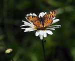 A Butterfly on a flower seen at Falling Waters Nature Preserve, in Saugerties, N.Y., on Thursday, May 31, 2012. Photograph taken by Jim Peppler. Copyright Jim Peppler/2012.