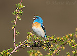 Lazuli Bunting (Passerina amoena) male singing, Mono Lake Basin, California,USA