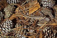 1R18-008a  Fence Lizard - camouflaged - Sceloporus undulatus