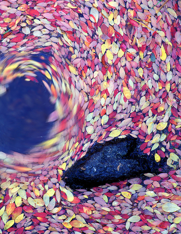 V00409N.tif   Fall colored huckleberry leaves in stream. Cascade Mountains, Oregon