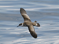 Great Shearwater Puffinus gravis breed in the southern Atlantic (on islands of New Zealand and South America); outside the breeding season they undertake a circum-Atlantic journey, passing through European waters mainly from July to September.