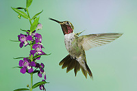 Broad-tailed Hummingbird, Selasphorus platycercus, male in flight feeding on Purple Angelonia(Angelonia angustifolia), Paradise, Chiricahua Mountains, Arizona, USA, August 2005