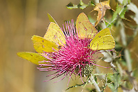 390210001 wild cloudless sulphur butterflies phoebis sennae feed on nectar from a thistle flower in garden canyon fort huachuca cochise county arizona united states