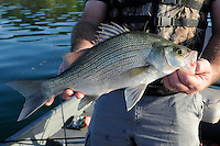 STAFF PHOTO FLIP PUTTHOFF <br /> Jon Stein shows a white bass that bit a jigging spoon at Beaver Lake last Thursday. Stein, the region's fisheries biologist with the Arkansas Game & Fish Commission, estimates this fish was hatched during the spawn of 2011.