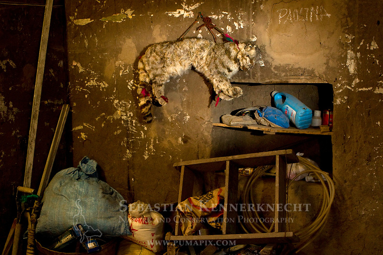 Andean Mountain Cat (Leopardus jacobita) stuffed animal hanging in house, considered to bring good luck for the fertility of domesticated livestock, Abra Granada, Andes, northwestern Argentina