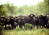 BOTSWANA, Africa, Chobe National Park and Game Reserve, a herd of Water Buffalo