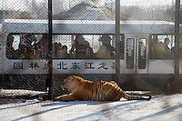 Tigers lay around in an enclosure at the Siberian Tiger Park in Haerbin, Heilongjiang Province, China. The Siberian Tiger Park is described as a preserve to protect Siberian tigers from extinction through captive breeding.  Visitors to the park can purchase live chickens and other meat to throw to the tigers.  The Siberian tiger is also known as the Manchurian tiger..