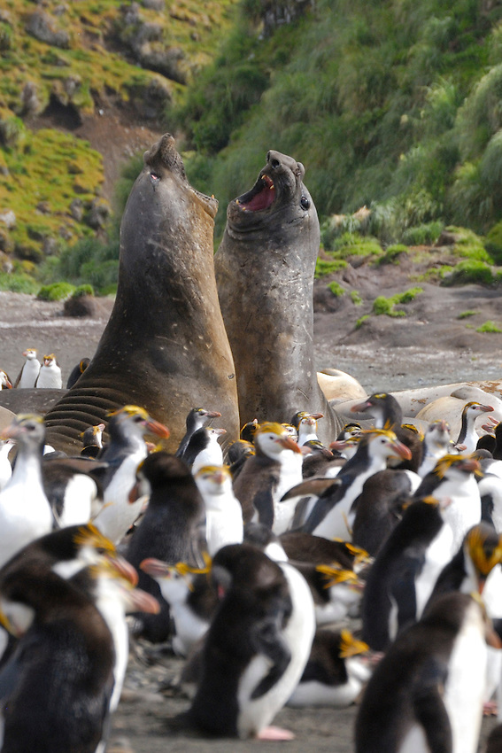 The War Lords VII - Male Elephant seals in discusssion among King and Royal penguins at Sandy Bay, Macquarie Island