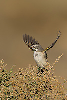 578830025 a wild sage sparrow amphispiza belli nevadensis perches on a sagebrush branch in kern county california