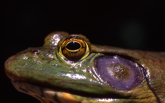 Bull frog close up, Colorado