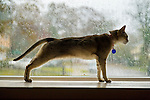 Oct. 29, 2012 - Merrick, New York, U.S. - While Hurricane Sandy whips rain and leaves outside the window, Singapura cat Minnie watches safely from inside her home. The streets in this south shore neighborhood of Long Island are nearly deserted as the force of the winds grow stronger each hour, with electricity flickering on and off, and it is now time to close the window blinds for additional safety.