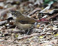 White-throated robin (or thrush) wintering at Estero Llano Grande SP near Weslaco in Feb 2011.Bird is endemic Mexico-Ecuador.