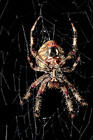 370000024 a wild female orbweaver spider araneaus ssp. sits on her web at night in los angles county california