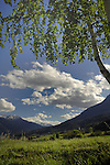 Tree branches and leaves backlit against  white clouds and  blue sky. Imst district, Austria, Tyrol,The Alps.