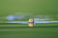 Diamondback water snake (Nerodia rhombifer rhombifer), adult swimming in lake, Dinero, Lake Corpus Christi, South Texas, USA