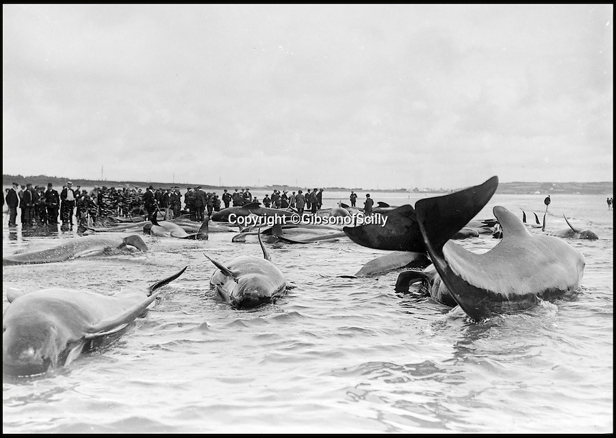 BNPS.co.uk (01202 558833)<br /> Pic: GibsonOfScilly/BNPS<br /> <br /> Whale beaching at Mount's Bay.<br /> <br /> An archive of eye-opening photographs documenting the grim reality of Poldark's Cornwall has emerged for sale for £25,000.<br /> <br /> More than 1,500 black and white images show the gritty lives lived by poverty-stricken families in late 19th and early 20th century Cornwall - around the same time that Winston Graham's famous Poldark novels were set.<br /> <br /> The collection reveals the lowly beginnings of towns like Rock, Fowey, Newquay and St Ives long before they became picture-postcard tourist hotspots.<br /> <br /> Images show young filth-covered children playing barefoot in squalid streets, impoverished families standing around outside the local tax office, and weather-beaten fishwives tending to the day's catch.<br /> <br /> The Cornish archive, comprising 1,200 original photographic prints and 300 glass negative plates, is tipped to fetch £25,000 when it goes under the hammer as one lot at Penzance Auction House.