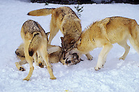 Gray wolves (Canis lupus) show dominance behavior--wolf on bottom is not hurt but learns position in pack.