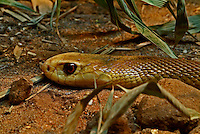 The Coastal Taipan (Oxyuranus scutellatus) is the fourth most venomous land snake in the world and arguably the largest venomous snake in Australia. Its venom contains taicatoxin, a highly potent neurotoxin. The danger posed by the coastal taipan was brought to Australian public awareness in 1950, when young herpetologist Kevin Budden was fatally bitten in capturing the first specimen available for antivenom research. The coastal taipan is often considered to be one of the deadliest species in the world.
