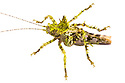 Moss Mimicking Katydid {Haemodiasma sp.} photographed on a white background in mobile field studio. Cordillera de Talamanca mountain range, Caribbean Slopes, Costa Rica. May.