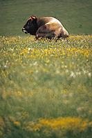 Europe/France/Auvergne/12/Aveyron/Env. de Laguiole: Taureau (race Aubrac) en pâturage