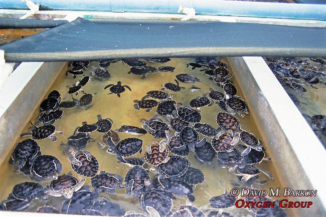Loggerhead Sea Turtle Hatchlings, Cayman Turtle Farm